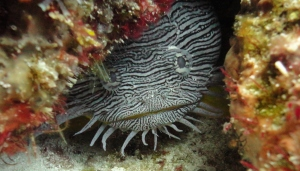 Splendid toadfish, Cozumel